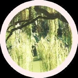 白柳樹皮エキス