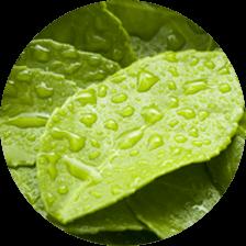 #緑茶抽出物